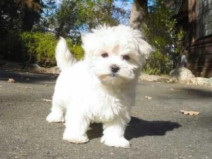 maltese puppies for sale in sc maltese puppies for sale spartanburg school district 03 4549