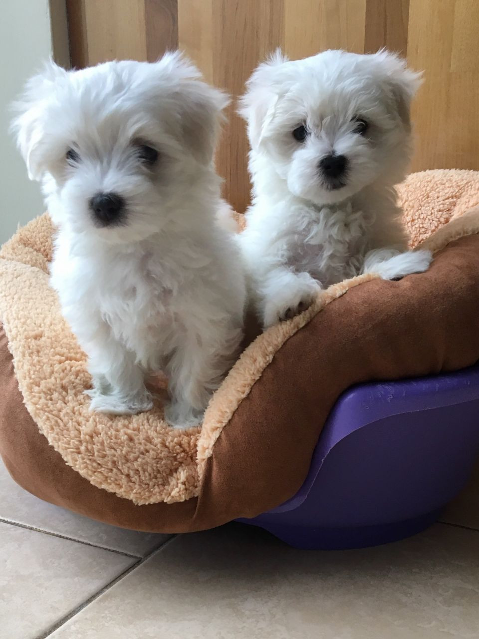 maltese puppies for sale in sc maltese puppies for sale bowman sc 192574 petzlover 2522
