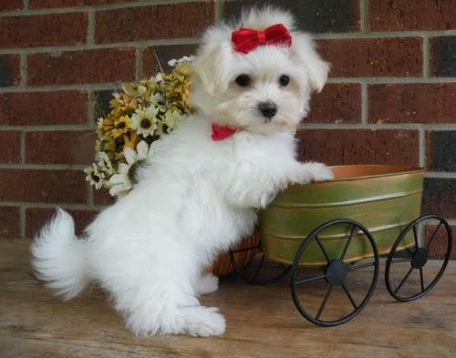 maltese puppies for sale in sc maltese puppies for sale north myrtle beach sc 192618 8079