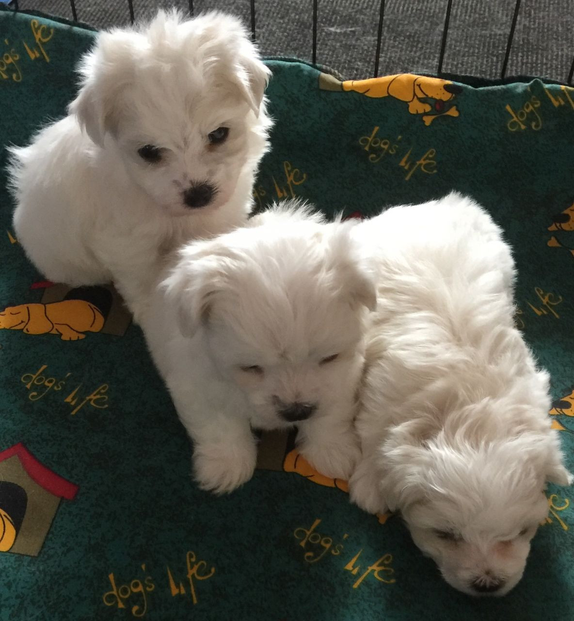 Maltese Puppies For Sale | California Avenue, Surratts, MD ...