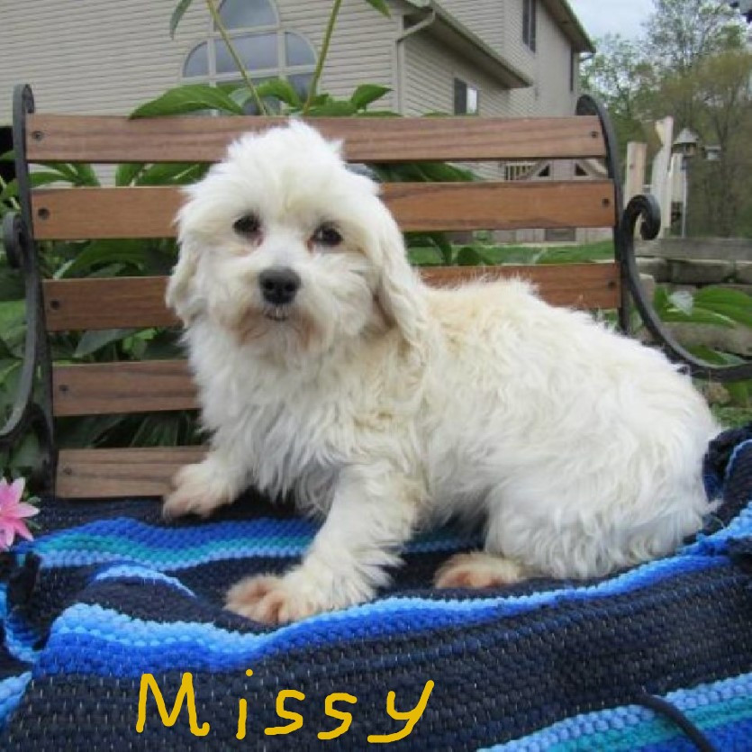 maltese puppy for sale in ohio maltese puppies for sale canton oh 193358 petzlover 6002