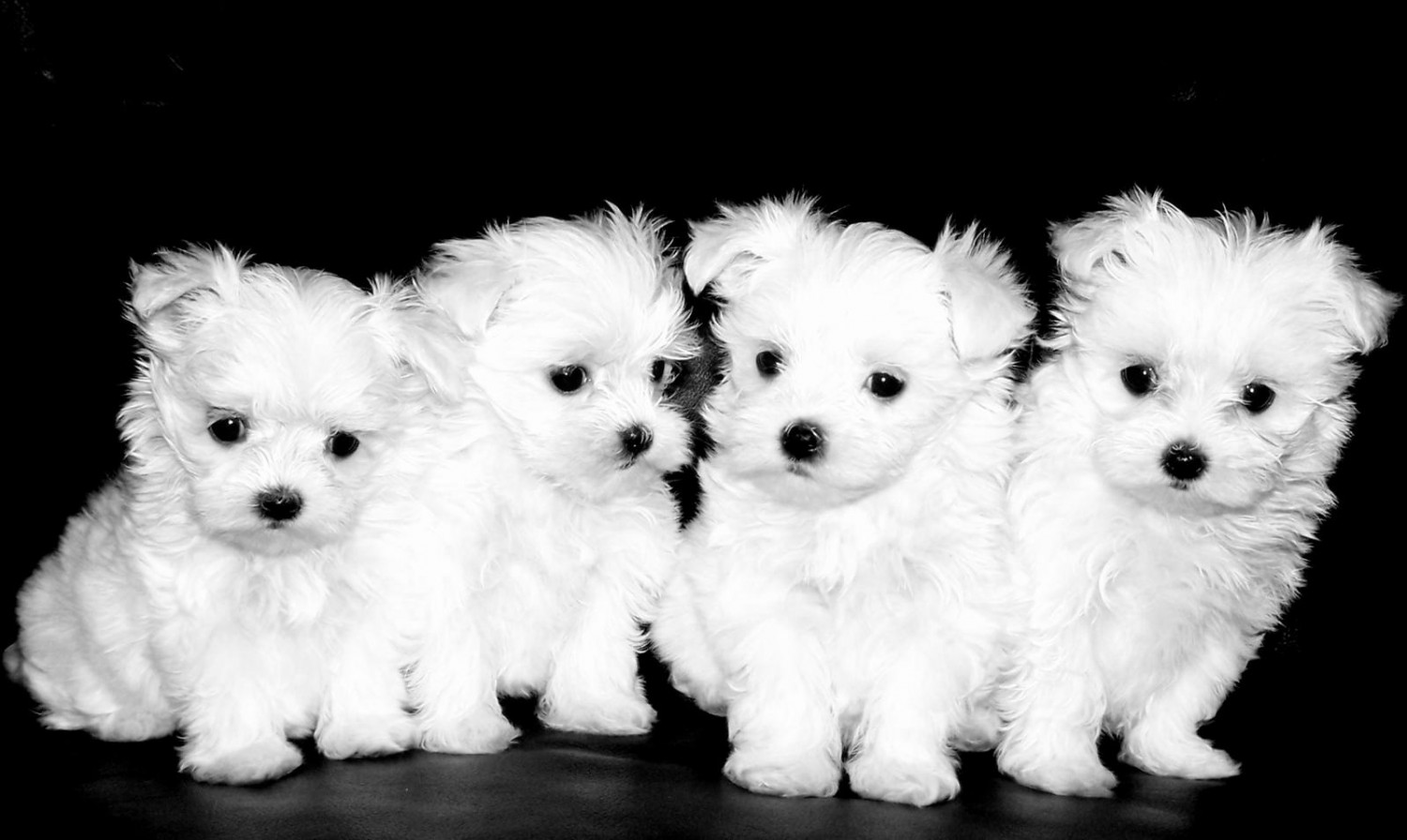 maltese puppies for sale in colorado maltese puppies for sale colorado springs co 197716 7930