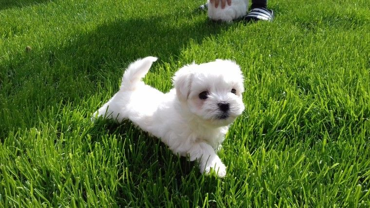 maltese puppies for sale in sc maltese puppies for sale south carolina 274 sc 198320 6685