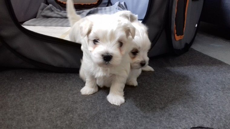 maltese puppy for sale in ny maltese puppies for sale new york ny 198669 petzlover 1779