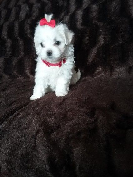 maltese puppies for sale in ky maltese puppies for sale crestwood ky 199420 petzlover 9064