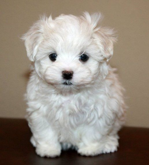 maltese puppy for sale in illinois maltese puppies for sale danville il 199893 petzlover 3787