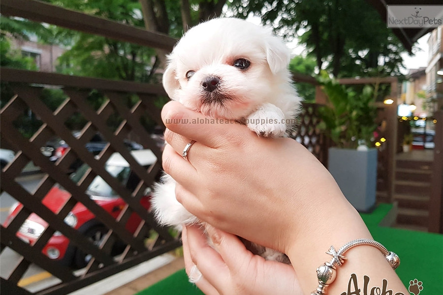 maltese puppy for sale in ny maltese puppies for sale new york ny 200444 petzlover 6945