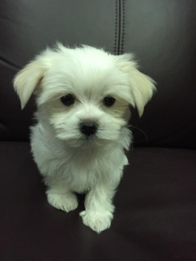 maltese puppy for sale in ny maltese puppies for sale florida ny 203914 petzlover 7221