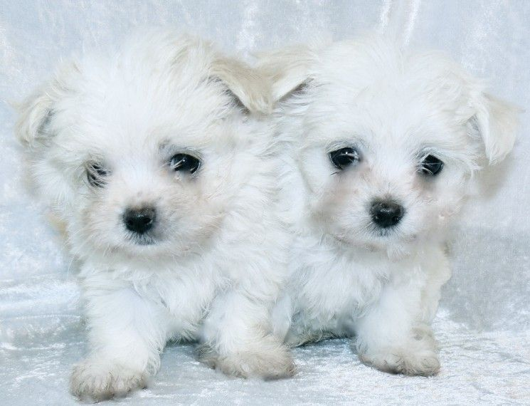 Maltese Puppies For Sale | Jacksonville, FL #205818