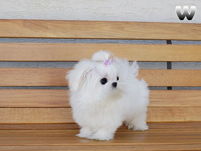 maltese puppies for sale in ky maltese puppies for sale georgetown ky 207018 4690