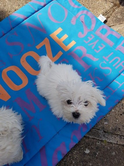 maltese puppy for sale in ohio maltese puppies for sale delaware oh 207373 petzlover 5098