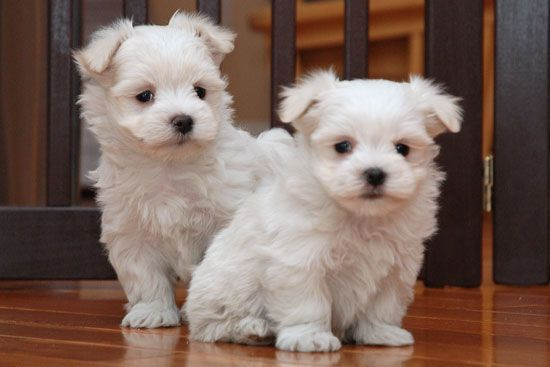 maltese puppy for sale in ny maltese puppies for sale allen street new york ny 208810 4247