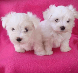 maltese puppy for sale in illinois maltese puppies for sale irving park il 209228 1590