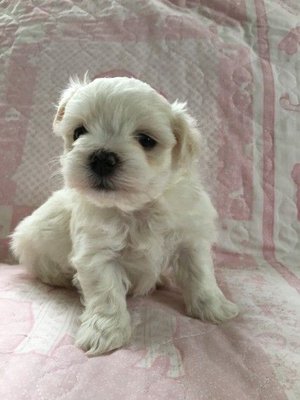 maltese puppy for sale in ohio maltese puppies for sale delaware oh 209578 petzlover 5513