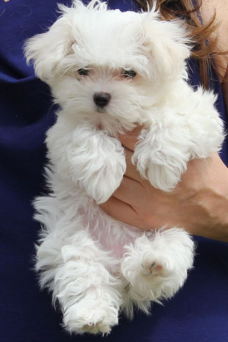 Maltese Puppies For Sale | Oklahoma City, OK #214978