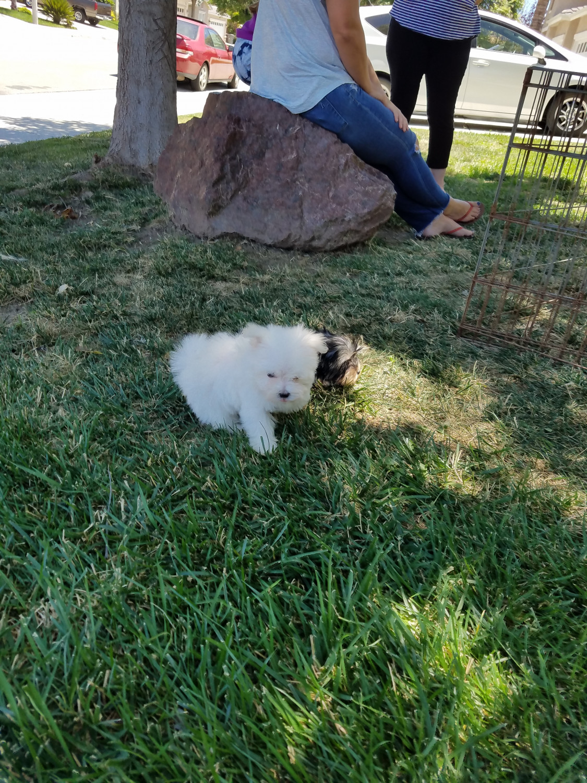 Maltese Puppies For Sale Temecula Ca 217224 Petzlover