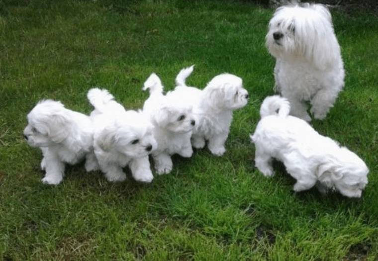 maltese puppy for sale in illinois maltese puppies for sale springfield il 220544 6274