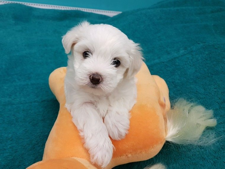 maltese puppies for sale in ms maltese puppies for sale blue springs ms 222405 2801