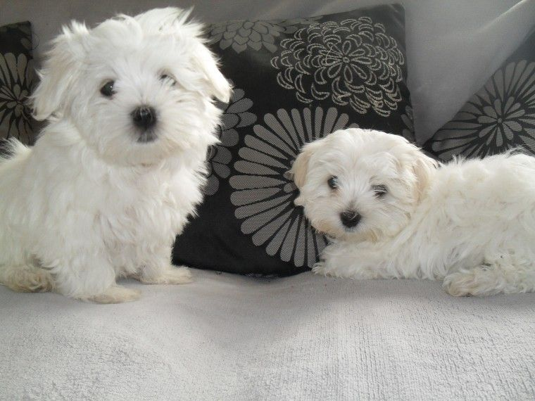 maltese for sale in va maltese puppies for sale richmond va 231563 petzlover 5525