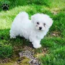 maltese for sale in va maltese puppies for sale virginia beach va 234280 9072