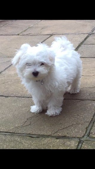 Maltese Puppies For Sale Maryland Line Road Massey Md 234867