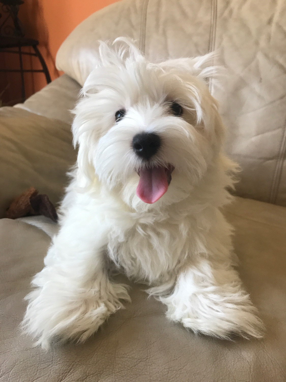 Maltese Puppies For Sale | Davenport, FL #242673 | Petzlover