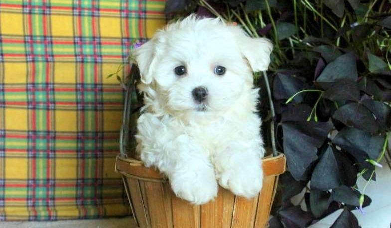 maltese puppies for sale in colorado maltese puppies for sale county road co 244804 3435