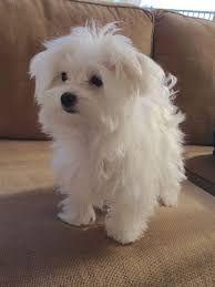 Maltese Puppies For Sale Arizona Mills Tempe Az 251862