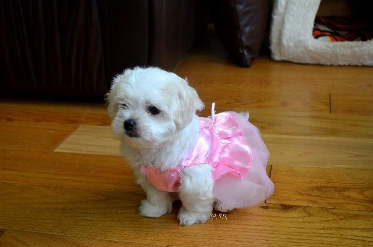 Maltese Puppies For Sale | Pittsburgh, PA #255073