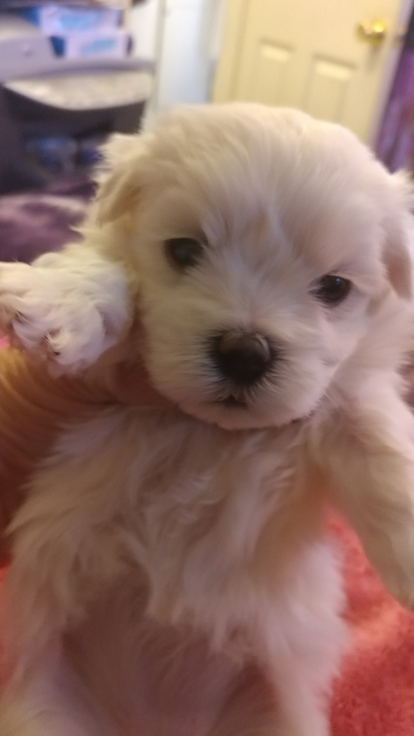 Maltese Puppies For Sale | Xenia, OH #256403 | Petzlover