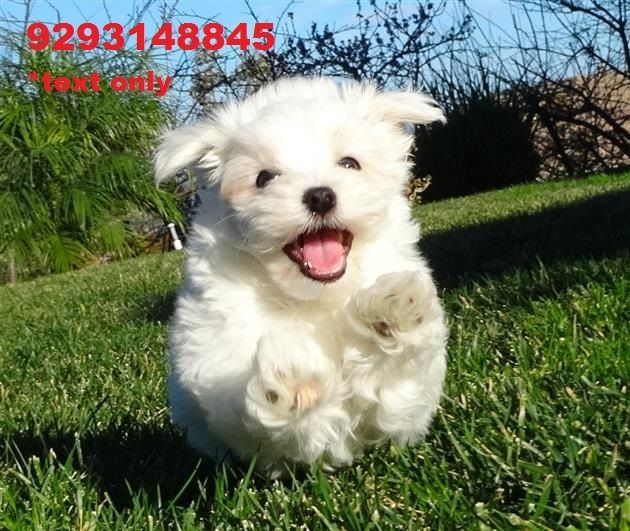 maltese breeders indiana maltese puppies for sale indianapolis in 256662 4787