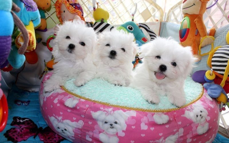 maltese puppies for sale in colorado maltese puppies for sale denver co 263307 petzlover 5989