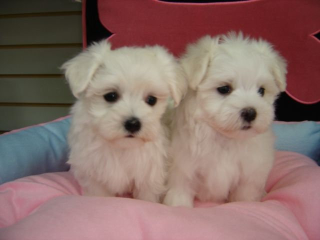 maltese puppy for sale in illinois maltese puppies for sale chicago il 263362 petzlover 9885