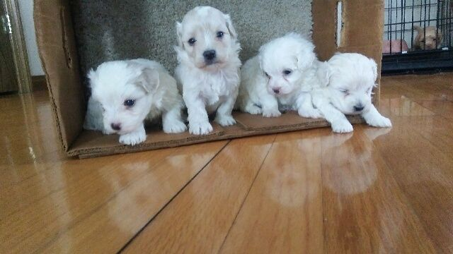 maltese breeders indiana maltese puppies for sale merrillville in 263492 3293