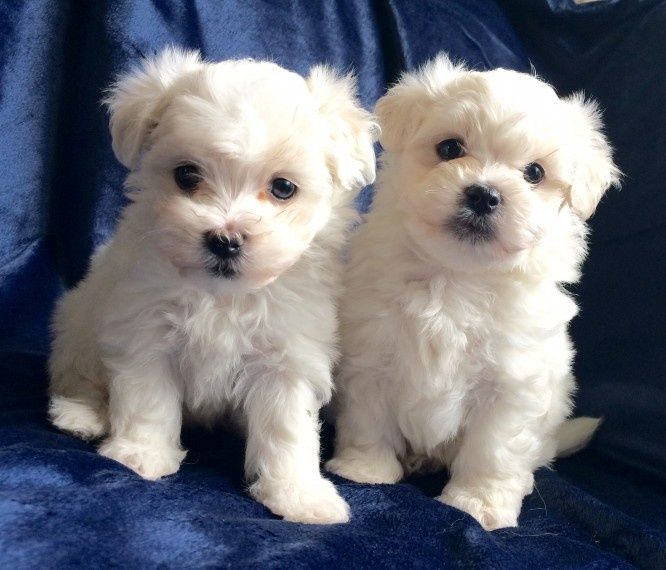 maltese puppy for sale in ohio maltese puppies for sale cincinnati oh 264002 3218