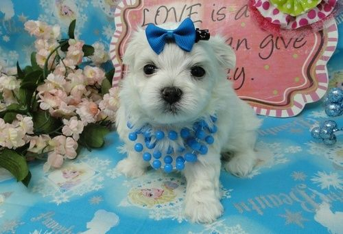 maltese for sale in va maltese puppies for sale sterling va 264182 petzlover 4926