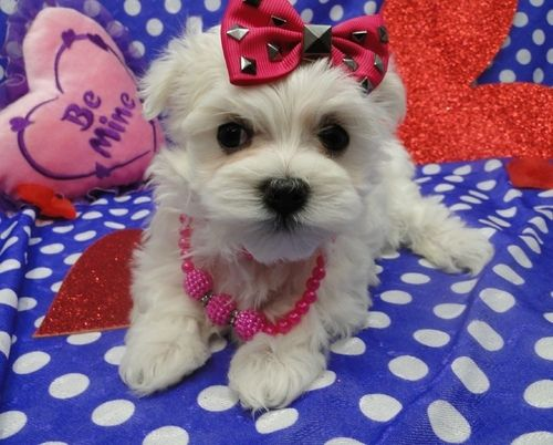 maltese for sale in va maltese puppies for sale sterling va 264182 petzlover 3507
