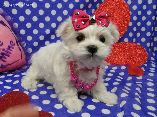 maltese puppies for sale in colorado maltese puppies for sale boulder co 264796 petzlover 4475