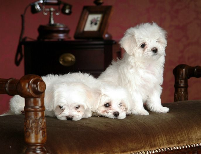 maltese puppies for sale in colorado maltese puppies for sale colorado springs co 266635 261