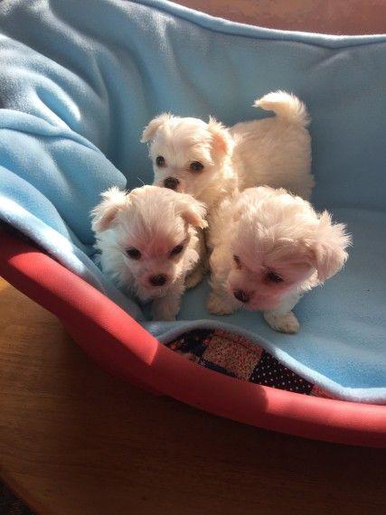 Maltese Puppies For Sale El Paso Tx 266828 Petzlover