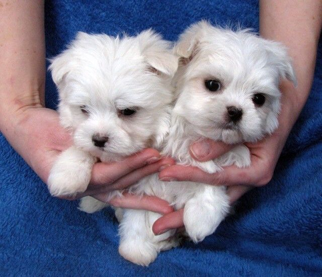 maltese puppies for sale in colorado maltese puppies for sale denver co 267483 petzlover 3018