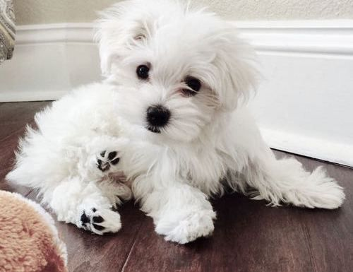 maltese puppy for sale in illinois maltese puppies for sale chicago il 267748 petzlover 1254