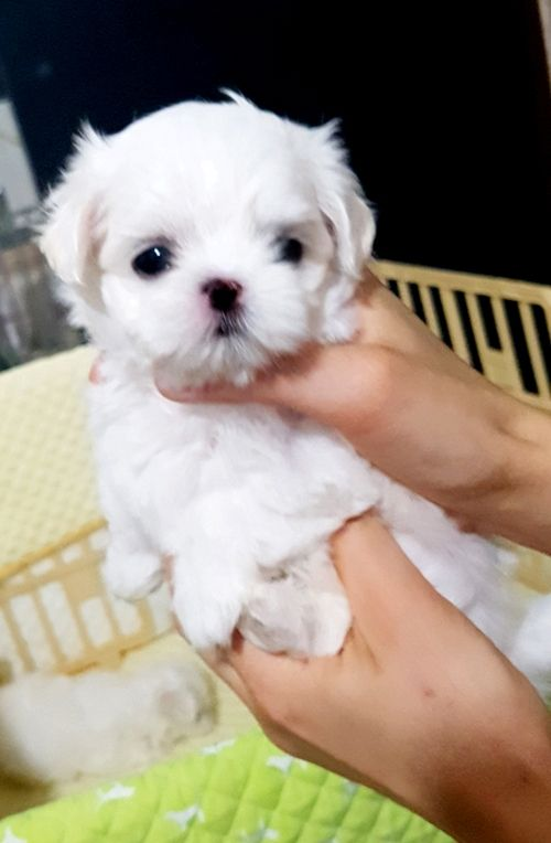 maltese puppy for sale near me maltese puppies for sale farmingdale me 273022 4034