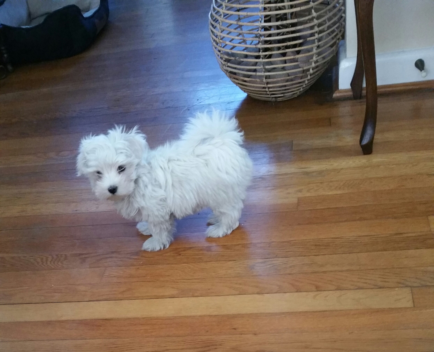 maltese for sale in va maltese puppies for sale norfolk va 260745 petzlover 8416