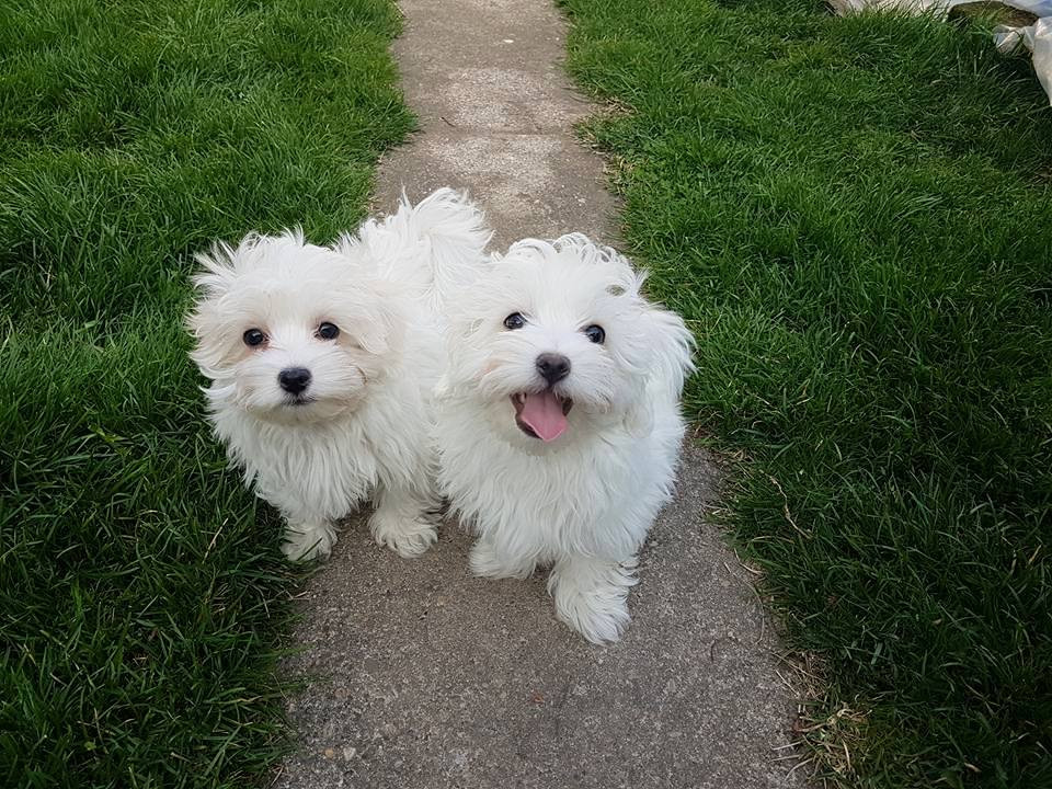 maltese breeders in michigan maltese puppies for sale church street geneva township 4514