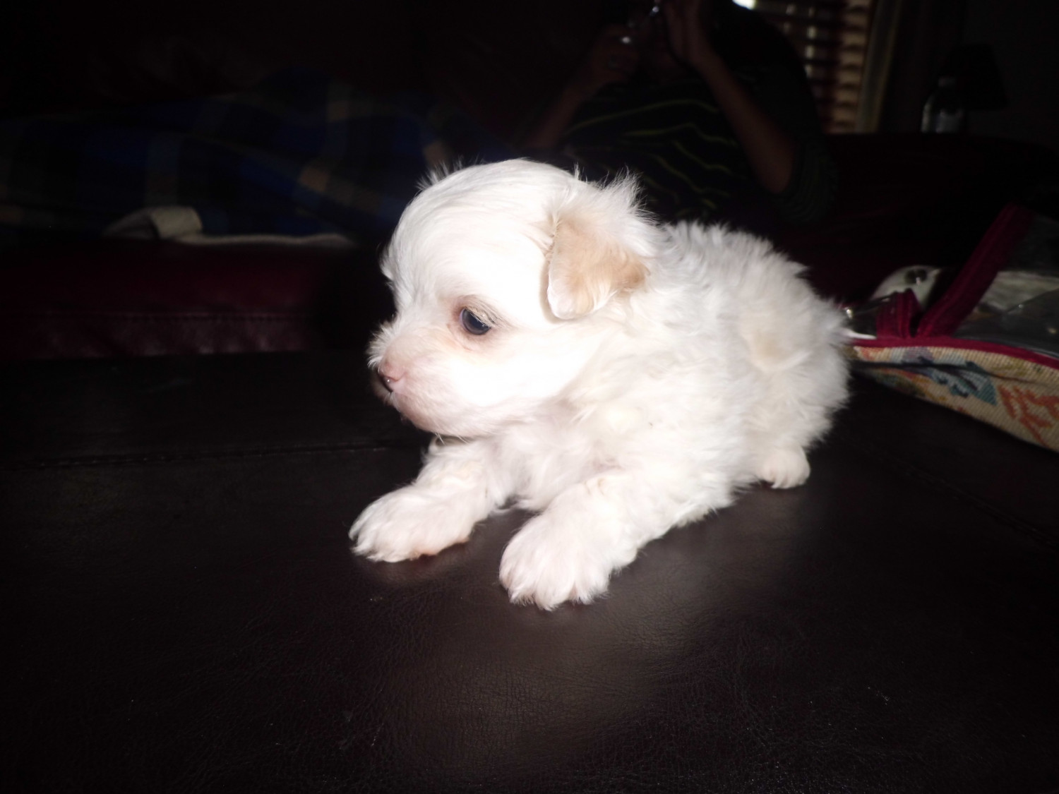 maltese puppies for sale in ky maltese puppies for sale paris ky 277539 petzlover 2993