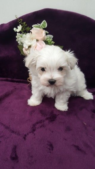 maltese puppies for sale in colorado maltese puppies for sale colorado springs co 279203 3852