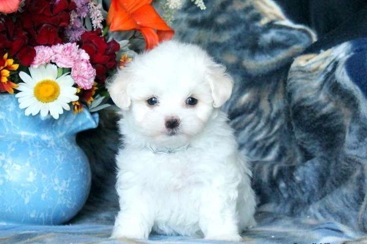 maltese puppies for sale in colorado maltese puppies for sale colorado springs co 279360 8758