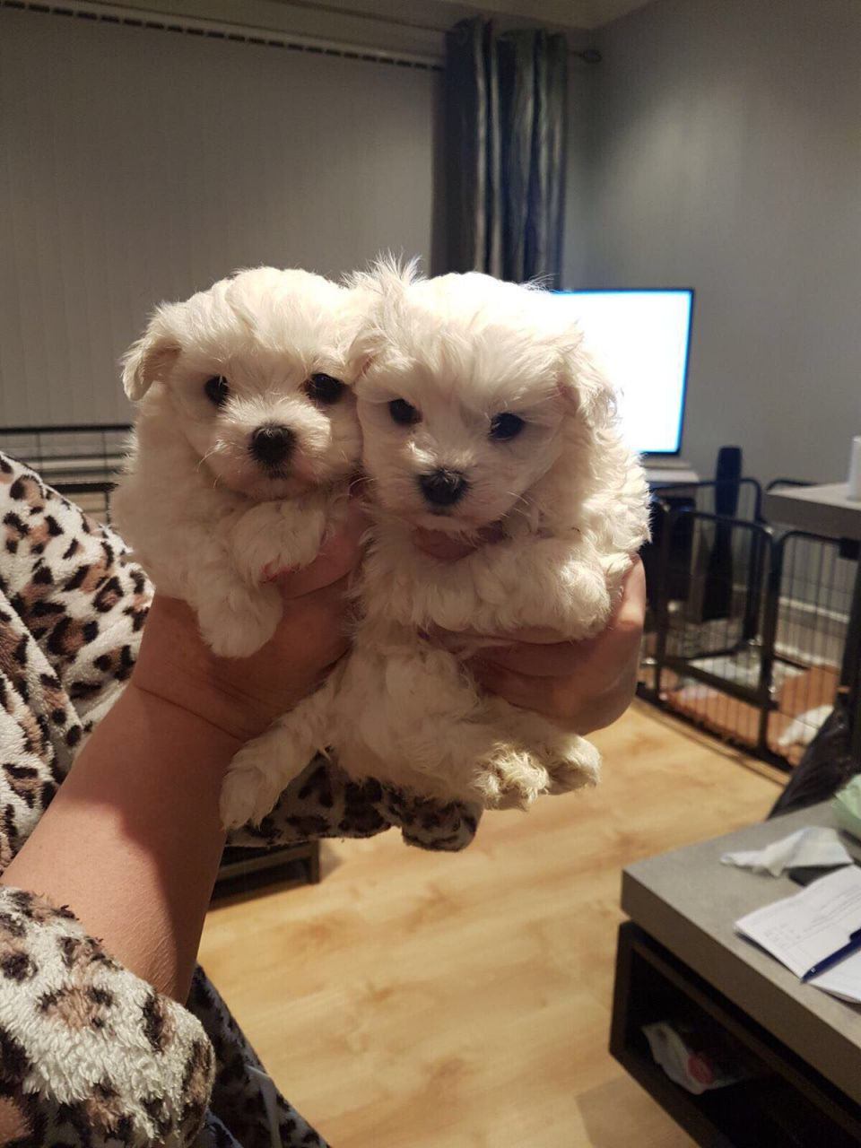 maltese puppies for sale in sc maltese puppies for sale charleston sc 279580 2871
