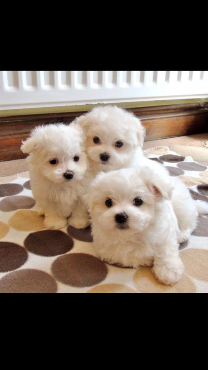 maltese puppies for sale in sc maltese puppies for sale charleston sc 279582 6378